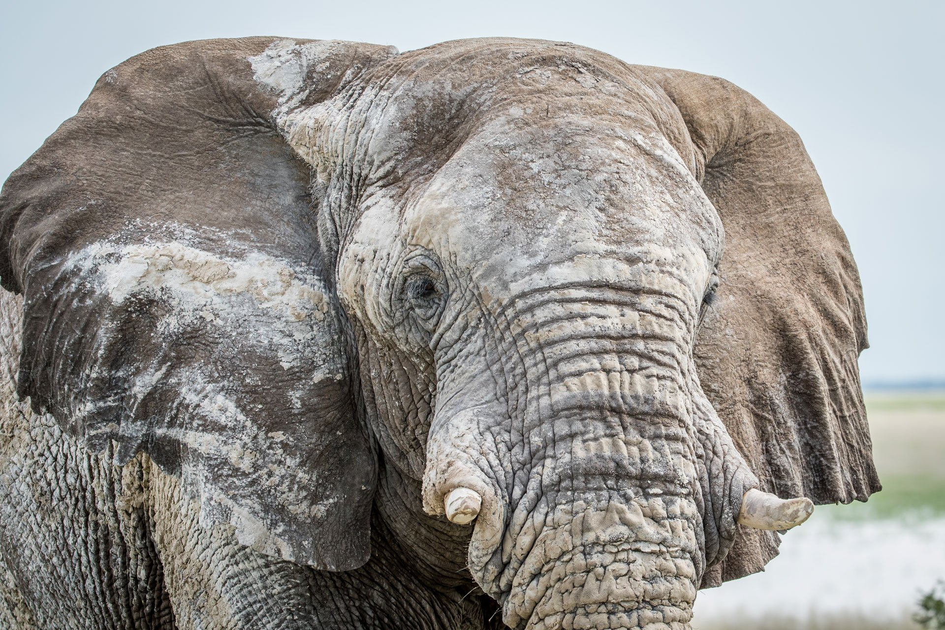 close up of an elephant bull H3N6XWG